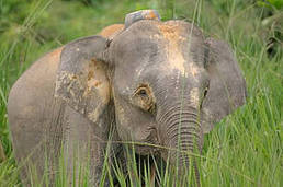 Long-term solutions needed  for conservation of borneo pygmy elephants | Wildlife and Environmental Conservation | Scoop.it