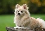 Pomeranians | dogs | Scoop.it