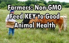 Farmers See Better Animal Health with Non-GMO Feed, But Scared to Say | Adverse Health Effects of Genetically Engineered Foods | Scoop.it