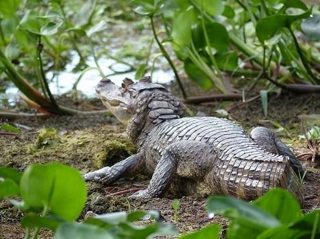 Photo d'Alligatoridé : Caïman à lunettes - Caiman crocodilus - Spectacled caiman - White caiman - Common caiman | Fauna Free Pics - Public Domain - Photos gratuites d'animaux | Scoop.it