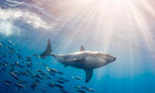 Plan to kill great white sharks that swim too close to Australian beaches | All about water, the oceans, environmental issues | Scoop.it