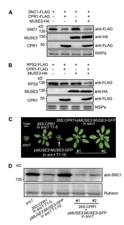 An E4 Ligase Facilitates Polyubiquitination of Plant Immune Receptor Resistance Proteins in Arabidopsis | Interesting Plant Protein & 3D Structures | Scoop.it