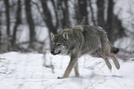 Wolves and Bears Stage Comeback in Crowded, Urban Europe | Naturalist Education | Scoop.it