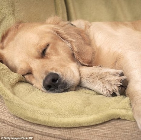 What do dogs dream about? Dogs have similar sleep patterns to humans | A Community of Dog | Scoop.it