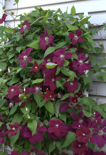 From the Soil: Linnaeus Day: Clematis 'Rouge Cardinal' (Christopher Tidrick) | Annie Haven | Haven Brand | Scoop.it