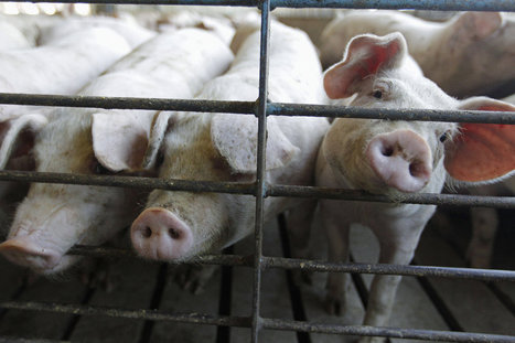 Why Are Pig Farmers Still Using Growth-Promoting Drugs? | Human Geography | Scoop.it