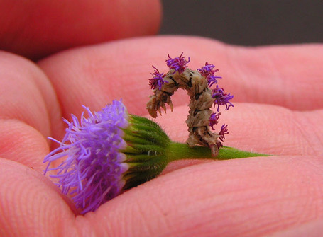 "Crafty Caterpillar Puts Flowers on Back for Camouflage | ""Cameras, Camcorders, Pictures, HDR, Gadgets, Films, Movies, Landscapes"" 