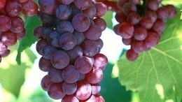 Grape seed extract B2G2 could kill prostate cancer cells | Nutrition & Health | Scoop.it