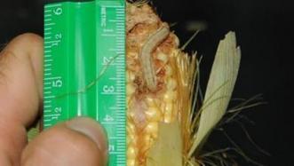 Earworm populations low in North Carolina corn | Southeast Farm Press | North Carolina Agriculture | Scoop.it