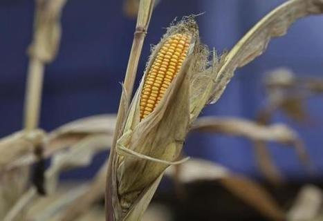China state corn stocks seen soaring: industry | MAIZE | Scoop.it