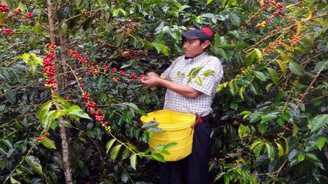 Café: A octubre el 23% de lo exportado es producido por cooperativas | Cooperativismo PERÚ | Scoop.it