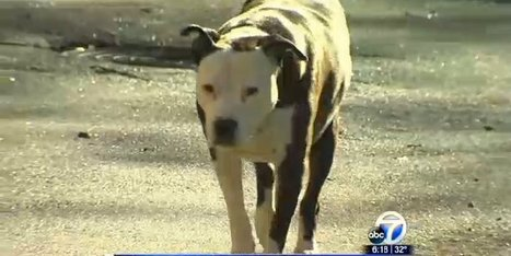This Is Proof That A Pit Bull Will Go To Any Lengths To Save His ... | Should Pit Bulls Be Kept As Pets | Scoop.it