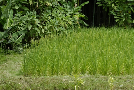 Agriculturist proves hybrid rice farming doubles harvest | Agriculture news | Scoop.it