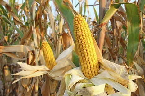 EPA Finalizes New Bt Corn Requirements | KTIC (Radio-West Point, NE) | CALS in the News | Scoop.it