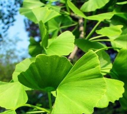Domie Plantes: Ginkgo biloba bienfaits et posologie   Plantes médicinales   Scoop.it