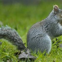 Fears over grey squirrels in Europe - Independent.ie   21st Century Living   Scoop.it