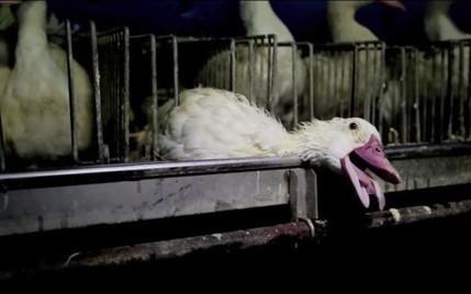 Foie gras : la vidéo choc d'une association qui appelle de grands chefs à supprimer ce plat - RTL.fr | Nature Animals humankind | Scoop.it