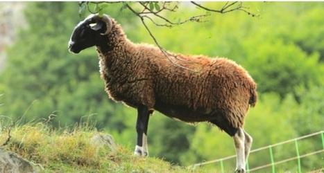 Gérard Bor cherche à mieux faire connaître le fruit d'un mode d'élevage ancestral perpétué par les paysans montagnards - PresseLib | Revue de Presse du Grand Tourmalet Pic du Midi | Scoop.it