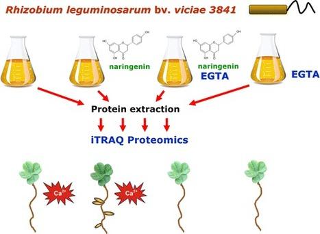 Calcium-Dependent Regulation of Genes for Plant Nodulation in Rhizobium leguminosarum Detected by iTRAQ Quantitative Proteomic Analysis - Journal of Proteome Research (ACS Publications) | DougLIM | Scoop.it