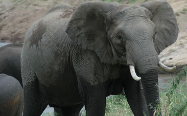 Will African Elephants Be Extinct In Ten Years? | fitness, health&nutrition | Scoop.it