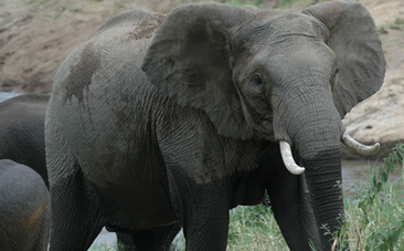 Will African Elephants Be Extinct In Ten Years? | Politically Incorrect | Scoop.it
