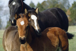 A Horse-Breeding Dilemma: Switching Broodmares – America's Horse Daily | Equine Reproduction | Scoop.it