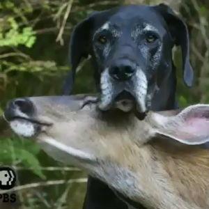 Deer and dog's interspecies friendship is seriously sweet | Pet Sitter Picks | Scoop.it