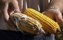Les OGM ou l'obscurantisme français - République de Bananes | veille Lycée La touche Agriculture et Santé | Scoop.it