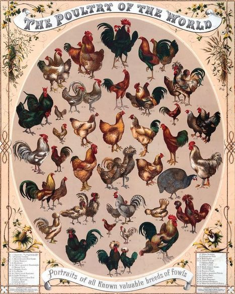 The Surprising Ways That Chickens Changed the World | Naturalist Education | Scoop.it
