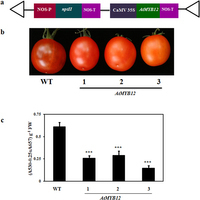 AtMYB12 expression in tomato leads to large scale differential modulation in transcriptome and flavonoid content in leaf and fruit tissues | Plant Genomics | Scoop.it
