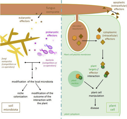 Advances in Botanical Research: Effector-Mediated Communication of Filamentous Plant Pathogens With Their Hosts (2016) | Stories of plants and its enermies | Scoop.it