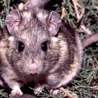 Rats are awesome masters of all things poisonous - io9 | VCE Biology | Scoop.it