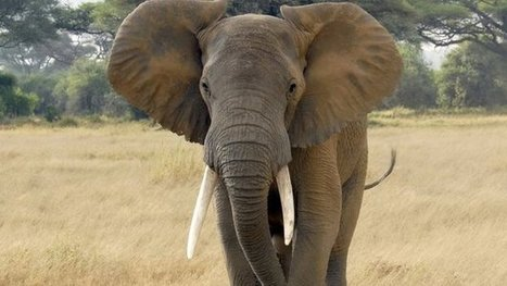 Poaching falls slightly while elephant population declines by almost half in Mozambique | Wildlife Trafficking: Who Does it? Allows it? | Scoop.it