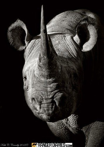 Coldplay Backs Up Rhino Conservation!!! - National Geographic | Kruger & African Wildlife | Scoop.it