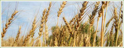 Warmer Temperatures Will Slash Wheat Yields | Vertical Farm - Food Factory | Scoop.it