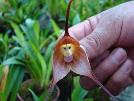 This Monkey Orchid can only be found in #Peru and #Ecuador #EarthPics | Limitless learning Universe | Scoop.it