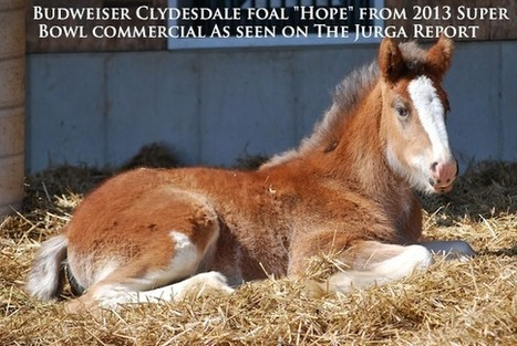 "Budweiser Clydesdales' Super Bowl Foal ""Hope"" Is Ready for Visitors 