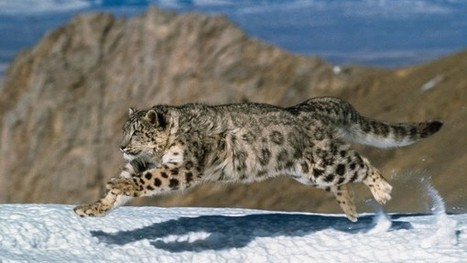 Blood of high-altitude snow leopards surprisingly similar to that of housecats | Love Of Cats | Scoop.it