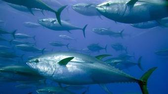 Atlantic fishing nations fail to act to protect sharks, tuna | Daily News Bite | Scoop.it