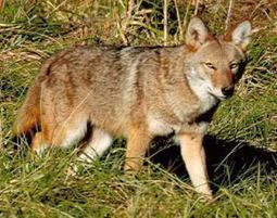 'Pet' coyote removed from Oak Harbor family | News | Scoop.it