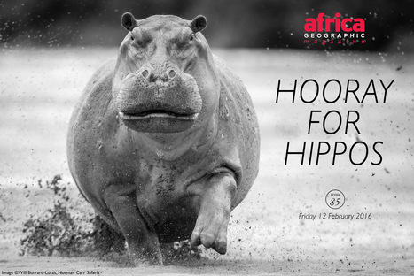 Hooray for hippos | Pachyderm Magazine | Scoop.it