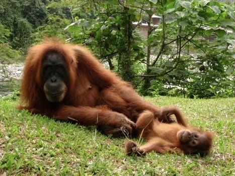 Situation critical for Sumatran orangutans | Asian Correspondent | Scoop Indonesia | Scoop.it