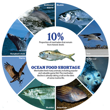 Missing Menhaden - Pew Environment Group   Blue Planet   Scoop.it