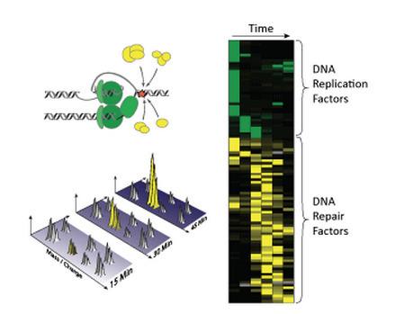 Proteomics identifies DNA repair toolbox | Virology and Bioinformatics from Virology.ca | Scoop.it