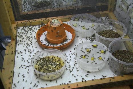 Moins de pesticides grâce aux mouches roses | EntomoNews | Scoop.it