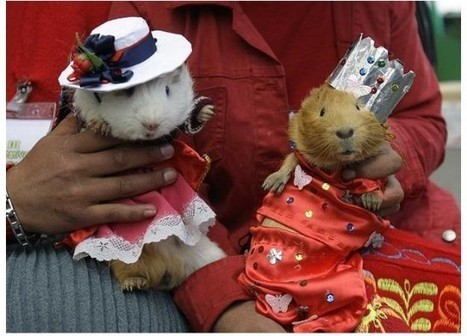 The Guinea Pig Festival of Huacho Has Rodents on the Menu | Strange days indeed... | Scoop.it