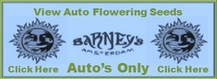 barneys seed | Justfeminized | Scoop.it