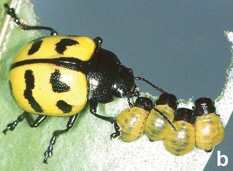 L'instinct maternel découvert chez des coléoptères | Nouvelles arthropodes | Scoop.it