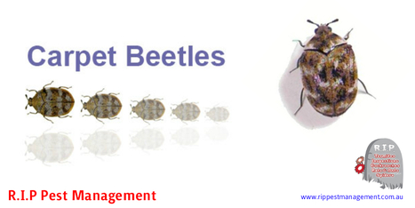 Carpet Beetle Control And Tips For Prevention | R.I.P. Pest Management | Pest Exterminator Northern Beaches | Scoop.it