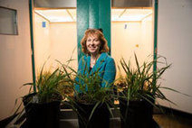 "Avoiding virus dangers in ""domesticating"" wild plants for biofuel use 